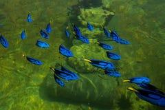 Królewska Pacyficzna błękitna blaszecznica Fotografia Royalty Free