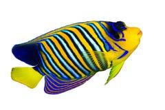 Królewski angelfish Zdjęcie Royalty Free