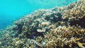 Królewski angelfish pływa wśród korala rafa zbiory