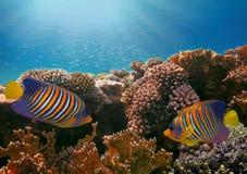 Królewski angelfish w Czerwonym morzu Zdjęcia Royalty Free