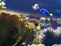 Królewski, Królewski Angelfish z rafy koralowa tłem/ Zdjęcia Royalty Free