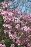 Królewski azalii drzewo w okwitnięciu Zdjęcie Royalty Free