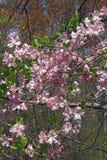 Królewski azalii drzewo w okwitnięciu Fotografia Stock