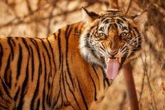 Królewski Bengal tygrys na pięknym złotym tle Zadziwiający tygrys w natury siedlisku Przyrody scena z niebezpieczną bestią Gorącą obrazy stock