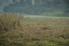 Królewski Bengal tygrys w pięknym natury siedlisku kaziranga park narodowy w India obraz royalty free