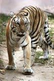 Królewski Bengal tygrysa odprowadzenie Zdjęcie Royalty Free