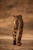 Królewski Bengal tygrysa zadek zdjęcia royalty free