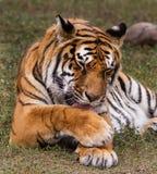 Królewski Bengalia tygrys Zdjęcia Stock