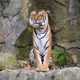 Królewski Bengalia tygrys Obrazy Stock