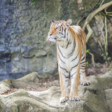 Królewski Bengalia tygrys Fotografia Stock