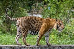 Królewski Bengalia tygrys przy Dhaka zoo wp8lywy kąpać się bić gorącego lato upał Obraz Stock