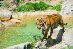 Królewski Bengalia tygrys przy zoo Los Angeles Fotografia Royalty Free