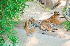 Królewski Bengalia tygrys przy zoo Los Angeles Zdjęcia Stock