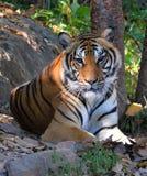 Królewski Bengalia tygrys relaksuje Obrazy Royalty Free