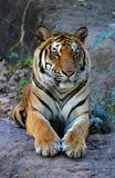 Królewski Bengalia tygrys relaksuje Zdjęcie Stock