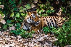 Królewski Bengalia tygrys T-24 Ustaad Zdjęcia Stock