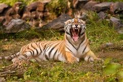 Królewski Bengalia tygrysa warczeć Obraz Royalty Free