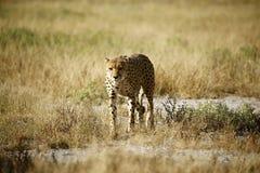 Królewski gepard Zdjęcia Royalty Free