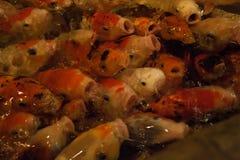 Królewski karp w sztucznym stawie lęgowa ornamentacyjna ryba wielki kierdel goldfish w stawie obrazy royalty free