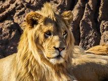 Królewski lwa Headshot zdjęcia stock