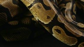 Królewski pełzający pyton, snakeskin wzór zbiory wideo