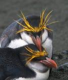 Królewski pingwin, Eudyptes schlegeli obraz stock