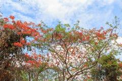 królewski poinciana drzewo Zdjęcia Royalty Free