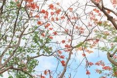 królewski poinciana drzewo Fotografia Royalty Free