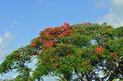 królewski poinciana drzewo Fotografia Stock