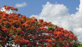 królewski poinciana drzewo Zdjęcie Stock