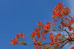 Królewski Poinciana drzewo i niebieskie niebo (pawi kwiat) Zdjęcia Royalty Free