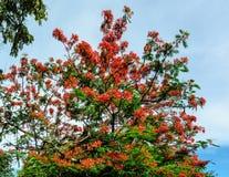 Królewski Poinciana kwiatu kwitnienie Zdjęcia Stock
