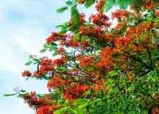 Królewski Poinciana kwiatu kwitnienie Zdjęcie Royalty Free