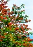 Królewski Poinciana kwiatu kwitnienie Fotografia Royalty Free