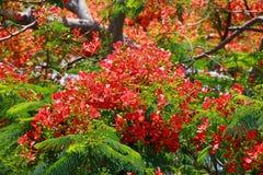 Królewski Poinciana Kwitnie w drzewie Fotografia Royalty Free