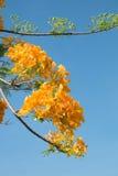 Królewski Poinciana lub Ekstrawagancki kwiat Obraz Royalty Free