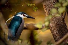 Królewski ptak: korony nocy głowiasta czapla Obrazy Stock