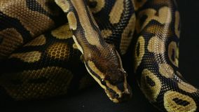 Królewski pyton, snakeskin wzór zbiory