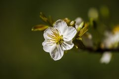 Królewskość wysokiej jakości bezpłatny akcyjny wizerunek Ochna Integerima Biały kwiat Ochna jest symbolem Wietnamski tradycyjny k zdjęcia royalty free
