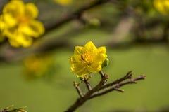 Królewskość wysokiej jakości bezpłatny akcyjny wizerunek Ochna kwiat Ochna jest symbolem Wietnamski tradycyjny księżycowy nowy ro zdjęcie stock