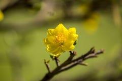 Królewskość wysokiej jakości bezpłatny akcyjny wizerunek Ochna kwiat Ochna jest symbolem Wietnamski tradycyjny księżycowy nowy ro obrazy stock