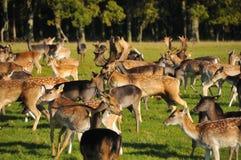 królica łydkowy jeleni jeleń Zdjęcie Royalty Free