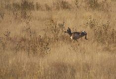 królica bieg Fotografia Stock