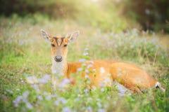 królicy jeleni obsiadanie na trawy polu Obrazy Stock