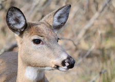 królicy jeleni whitetail Fotografia Royalty Free