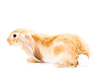 królik śliczna czerwień Fotografia Stock
