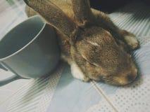 królik śpiący Zdjęcia Royalty Free