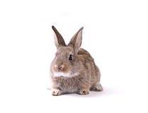 królik Zdjęcie Royalty Free