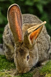 królik Zdjęcie Stock