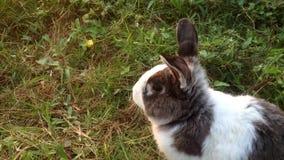 Królik bawić się wokoło zielonej trawy Folował Hd 1080P zdjęcie wideo
